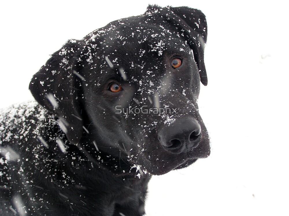 Black Lab Paying in the Snow by SykoGraphx