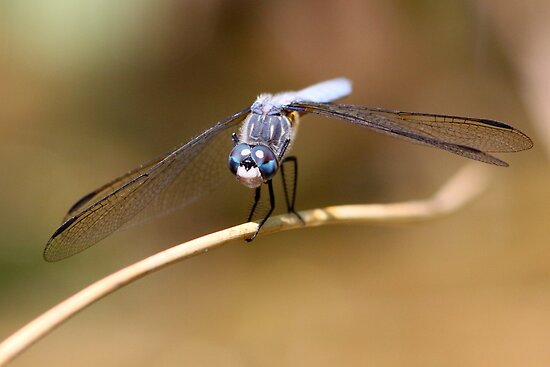 Gaze of the Blue Dasher by Wolf Read