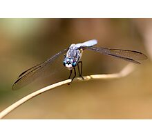 Gaze of the Blue Dasher Photographic Print