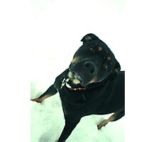 Rottweiler in snow Photographic Print