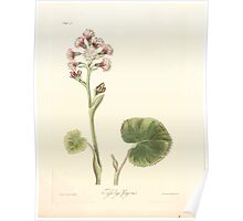Floral illustrations of the seasons Margarate Lace Roscoe 1829 0178 Tufsilago Fragrans Poster