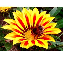 Bumble Bee in a Flower Photographic Print