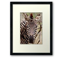 IN EYE CONTACT.... WITH THE ZEBRA Framed Print