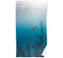 Caribean Reef Squid Poster