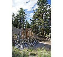 Petrified Redwood  Photographic Print