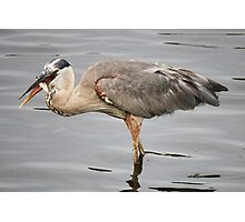 Great Blue Heron with his Fish Photographic Print
