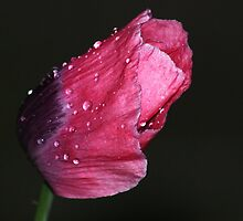 Red Poppy During Rainstorm by shane22