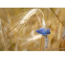 Blue Butterfly in Wheat Field Photographic Print
