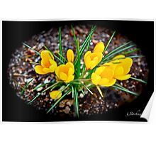 A winter aconite. Poster