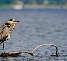 Adult Great Blue Heron - Ottawa, Ontario by Michael Cummings
