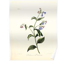 Floral illustrations of the seasons Margarate Lace Roscoe 1829 0086 Putmonaria Faniculata Poster