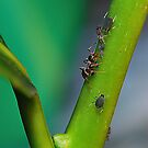 Ant Farming Aphids [2] by relayer51