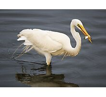 Great White Egret Fishing Photographic Print