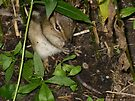 Chipmunk Eating a Worm by Barberelli