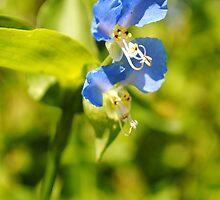 Blue Dayflower by MarjorieB