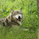 Timber Wolf at Rest by Bill McMullen