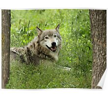 Timber Wolf at Rest Poster