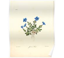 Floral illustrations of the seasons Margarate Lace Roscoe 1829 0230 Gentiana Verna Poster