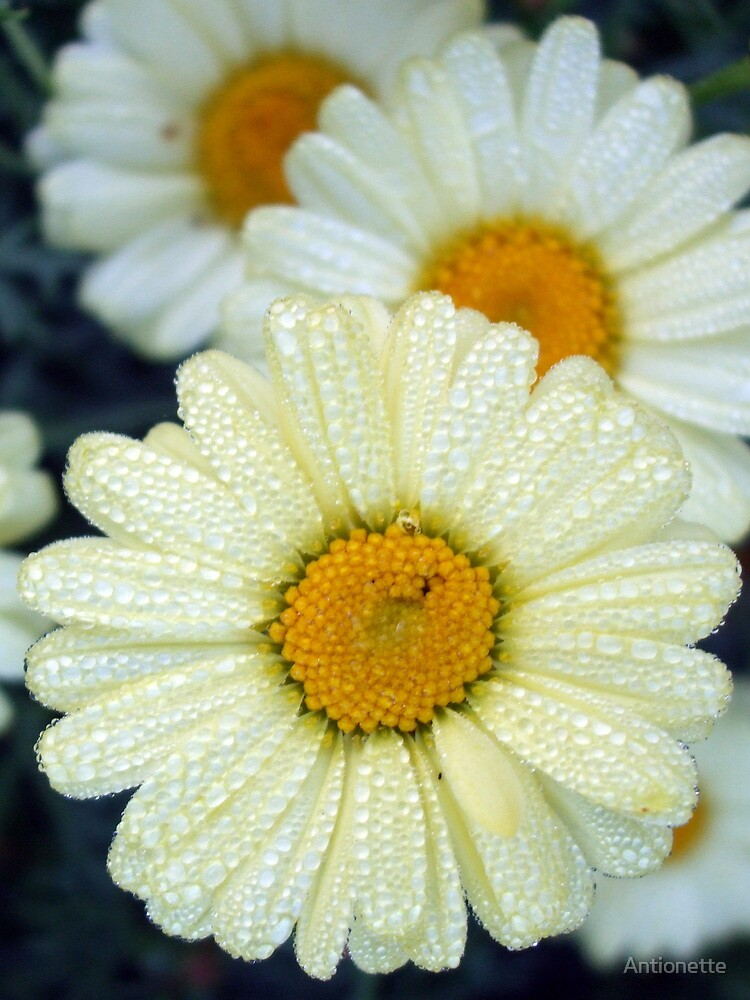 Daisies and dewdrops by Antionette