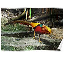 The Most Beautiful Bird in the World - The Golden Pheasant Poster