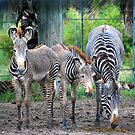 Stripes/ Zebra by Colleen Rohrbaugh
