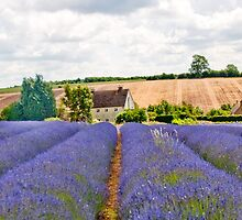 English Lavender Field by Sue Knowles