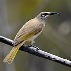 Brown Honeyeater taken near Mataranka NT by Alwyn Simple