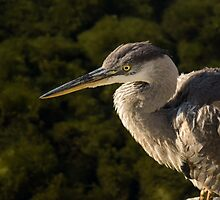 Focused Hunter - a Great Blue Heron Watching for Fish by Georgia Mizuleva