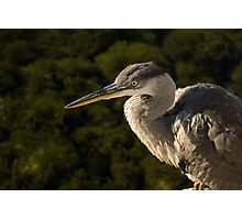 Focused Hunter - a Great Blue Heron Watching for Fish Photographic Print
