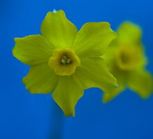 Daffodil Twin by Marcus Walters