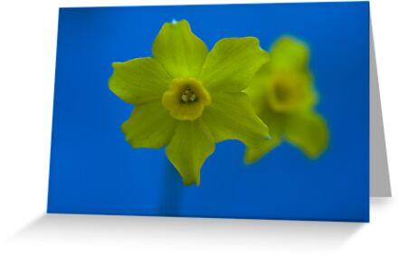 Daffodil Twin by Marcus Walters