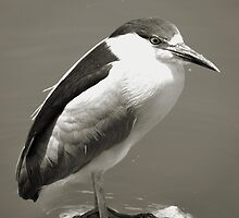 Black-Crowned Night Heron by Carla Jensen