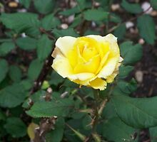 Yellow Rose  by BreezyStudios