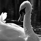 Swan beauty by Darren Bailey LRPS