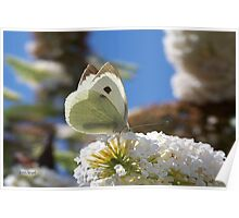 Pretty White Butterfly  Poster