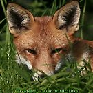 Cards - Protect Our Wildlife / Red Fox - None Captive by snapdecisions