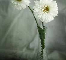 Shasta Daisy by DaveFord