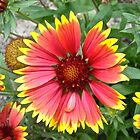 Red and yellow daisy by Shulie1