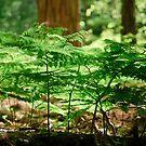 Ferns by Phillip M. Burrow