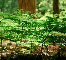 Ferns by Phillip M. Burrow