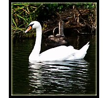 The Swan and the Ducklings Photographic Print