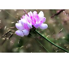 Crown Vetch - In Tall Meadow Grass Photographic Print