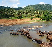 Pinnewala Elephant Orphanage. Sri Lanka. by Ralph de Zilva