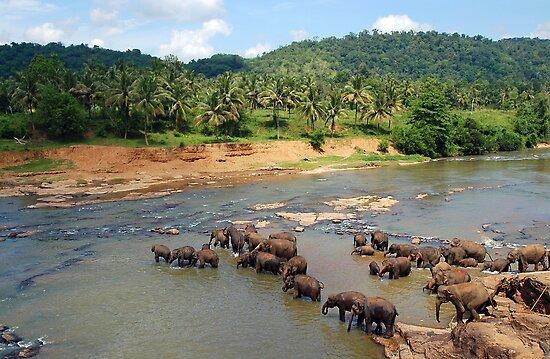 Pinnewala Elephant Orphanage. Sri Lanka. by Ralph de Zilva