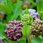 Macro Nature - Milkweed by flowers2love