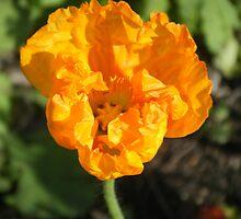 Orange Flower by Shelby Craig