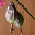 Crucifix Orchid seed pods by Anna D'Accione