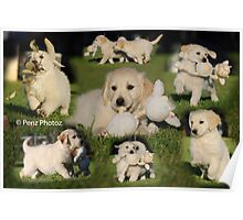 Montage of 2 adorable Golden Retriever babies Poster