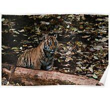Baby Sumatran Cub Poster