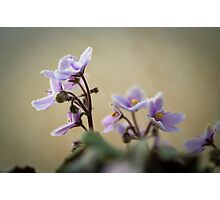 African Violets: How Long to they live for? Photographic Print